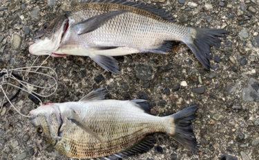 岸壁からのダンゴ釣りで40cm頭に本命クロダイ2尾【静岡・沼津】