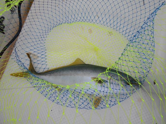 ボートノマセ釣りでハマチメイン『ブリ族』8匹 「待ち」の釣りで挑戦
