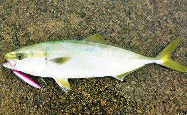 ショアジギで41cmハマチ 青物回遊で釣り場は満員御礼【香良洲漁港】