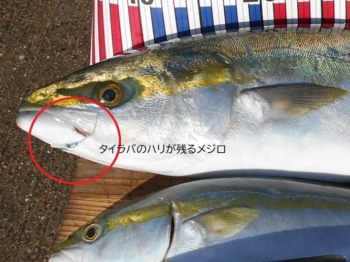 ノマセ釣りでメジロ&ハマチ手中 潮流から予測した時合い的中【明石沖】