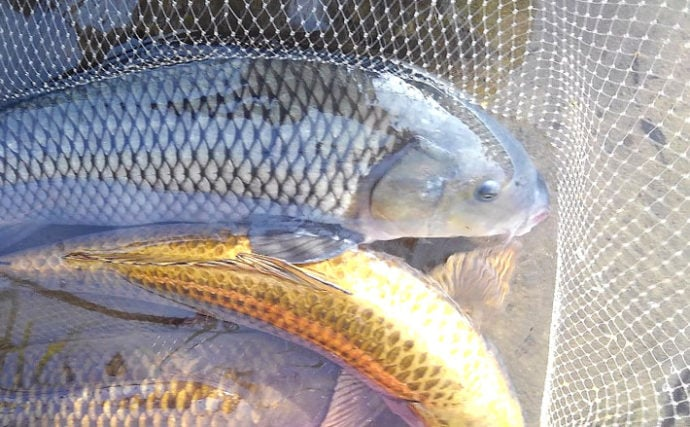 ベストシーズン到来の『コイ釣り』で60cm強引を堪能【長良川】