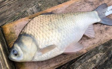 大型新ベラ狙いヘラブナ釣り 宙釣りで40cm超4匹【釣堀センター菊水】