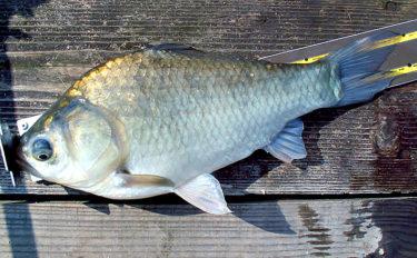 晩秋の管理釣り場でヘラブナ ダンゴに好反応で30尾超【FC竹の内】