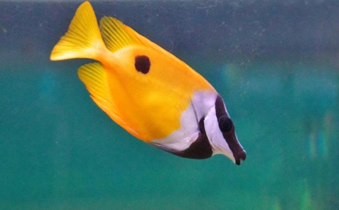 サカナ界の最大派閥『スズキ目』の意外な魚種11選 タチウオも?