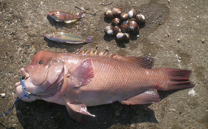 アケミ貝のぶっこみ釣りでカンダイ71cm【ポートアイランド赤灯波止】
