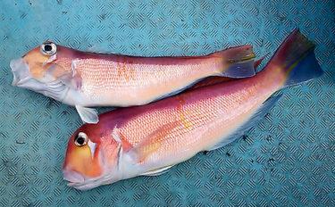 高級ブランド魚『若狭グジ』釣りキホン解説 冬は浅場が狙い目【京都】
