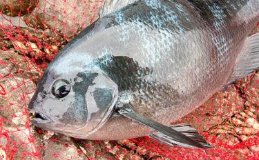 本格シーズン到来の磯フカセ釣りで40cm級グレ手中 下り潮に本命乱舞