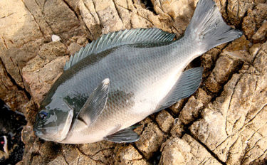 日本海『寒グレ』好機 磯フカセ釣りで30〜40cm良型手中【鳥取】
