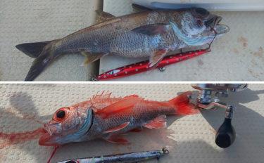 アカムツ・クロムツの釣り分け方 2Days中深海ジギング釣行【和歌山】