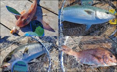 海上釣り堀でマダイ11匹&青物6匹で竿頭 誘いが重要【沼津・まるや】