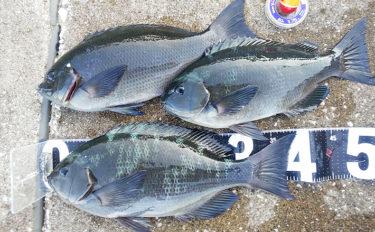 地磯フカセ釣りで39cm頭にメジナ3尾 本格シーズン間近か【洲崎】