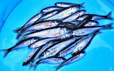 真冬でも手軽に楽しめる『清流小物釣り』でアブラハヤ30尾超【黒目川】