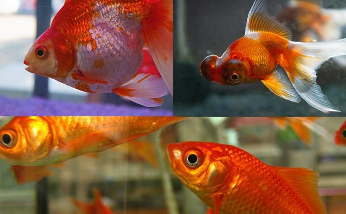 ユーは何しに日本へ?:キンギョ(金魚)編 野生化すると50cmに?