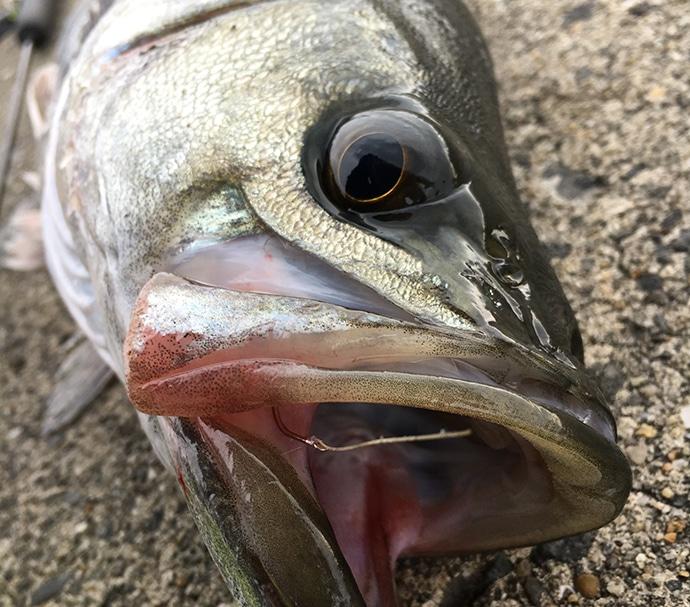 泉南エリアのエビ撒き釣り場3選 本命のハネはもちろん根魚も有望