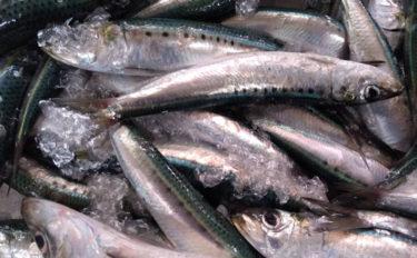 プロが教える「おいしい旬魚」の見分け方:節分にかかせない『イワシ』