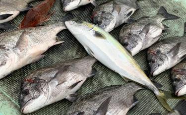 カカリ釣りでマダイ&チヌ 良型含み数釣りチャンス【フィッシング大西】
