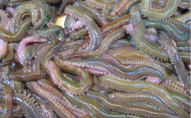 コロナウイルスの影響で「釣りエサ店」が大打撃 中国からの輸入量が減少