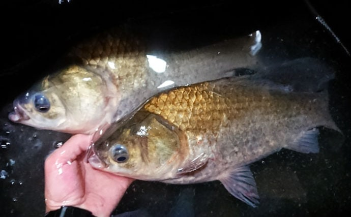 厳寒期の野釣りで38cm頭ヘラブナ3尾 「泡づけ」が前触れ【瓜田ダム】