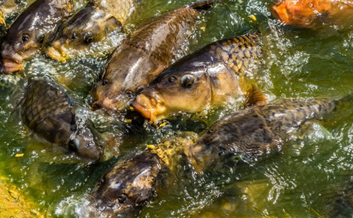 サカナ界でもウイルス蔓延が問題に 霞ヶ浦で養殖鯉が大量死したことも