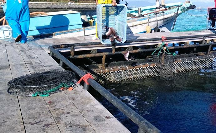 期間限定放流のヒラマサ2尾 澄み潮攻略法3選も【海上釣り堀まるや】