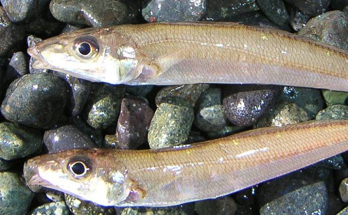 厳寒期の投げキス釣りでシロギス3尾 回遊待ちがアタリ【国府津海岸】