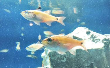 釣りのゲスト代表『ネンブツダイ』 意外と知らない生態と飼育方法