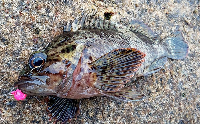 暖冬でロックフィッシュも高活性 穴釣りでムラソイ&メバリング【大阪】