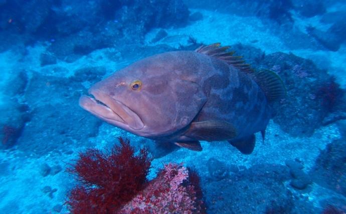 超がつく高級魚「クエ」の価格が高い理由 成長の遅さが養殖にもネック