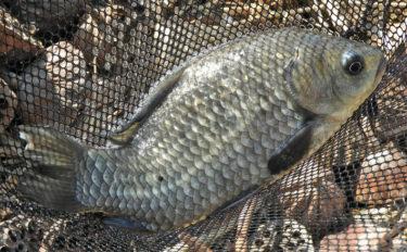 『淡水小物釣り』で27cm頭マブナ4尾 蓮に隠れたサカナ狙う【慈恩寺沼】