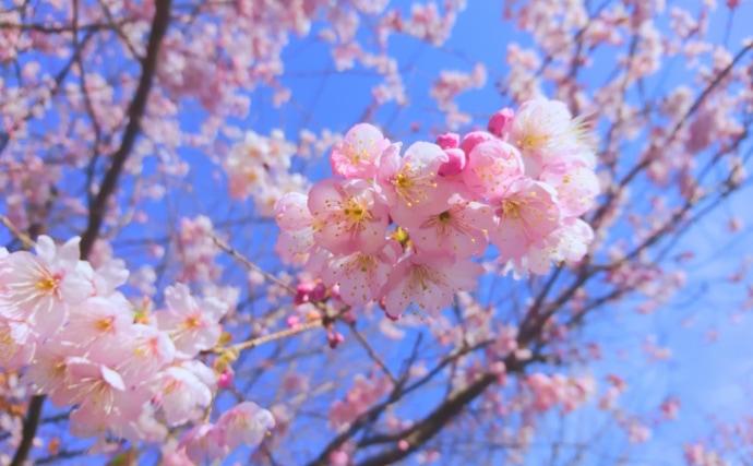 意外と知らない「桜鯛」と「サクラダイ」の違い 美味しいのはどっち?
