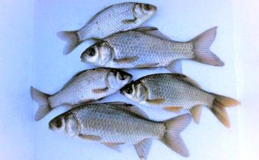 マブナ釣りで16cm頭に本命24尾 越冬場所狙いの「寒の釣り」を攻略