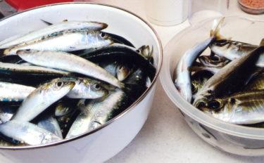 イワシフィーバー継続で桟橋は大混雑 アジ含み3桁釣果【豊浜漁港】