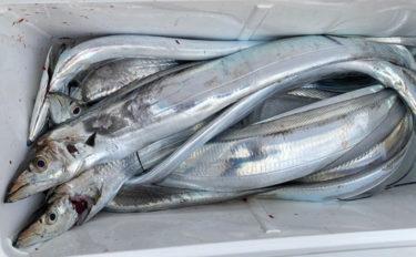 アタリ単発も釣れれば良型ばかり 東京湾エサタチウオ釣行【つり幸】