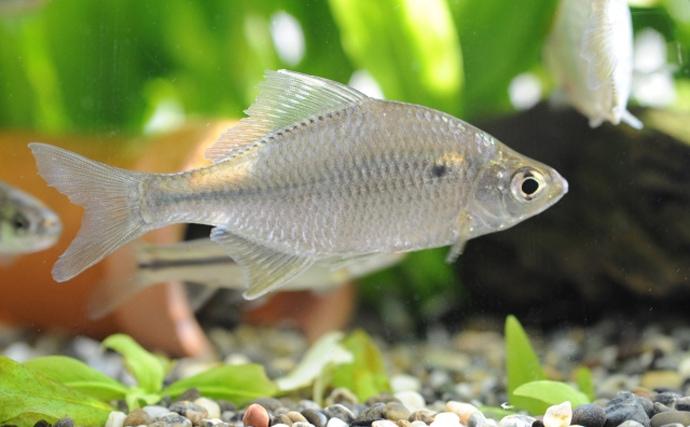 淡水の宝石『ニッポンバラタナゴ』の変わった生態 子育ては貝の中?