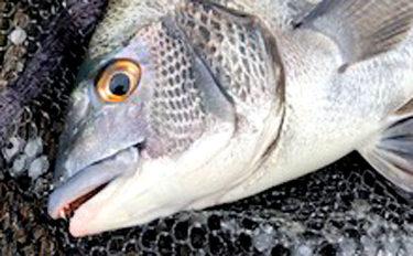 筏カカリ釣りで47cm頭にクロダイ7匹 春シーズンも前倒しか【三重】