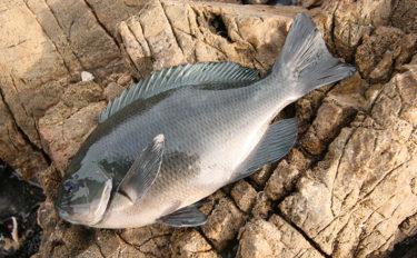 宮崎県からメジナが消えた? 実釣&釣具店へのヒアリングから考察