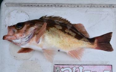 多点掛けで数釣り堪能 37cm頭にオキメバル37尾【茨城・明進丸】