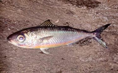 カゴ釣りで珍種『ミナミメダイ』捕獲 採集例少なく標本に【城ヶ崎】
