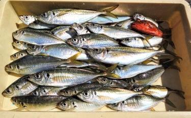 手こぎボートでアジの入れ食いを堪能 31cm頭47尾【斉田ボート】