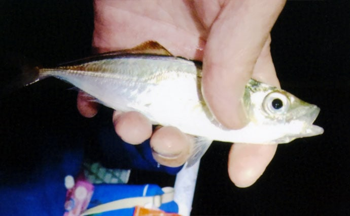 夜釣りのトリックサビキでアジ25匹にイワシ27匹【豊浜釣り桟橋】