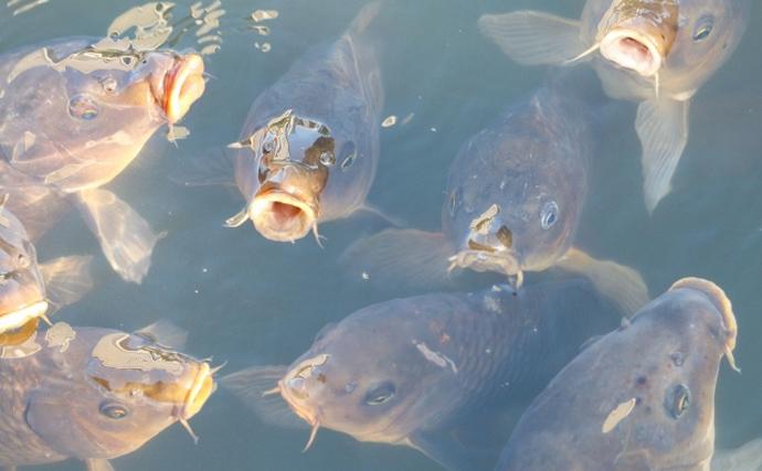 欧州では意外とごちそう? 『コイ』の食用魚としての側面を紹介