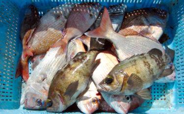 ウタセマダイ釣りで本命の他良型メバル手中 速い潮流に苦戦【愛知】