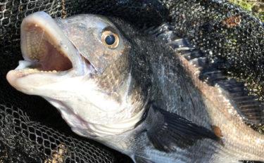 乗っ込みクロダイ調査 フカセ釣りで年無し含み40cm超え4枚【三重】