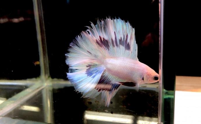 人に懐いてくれる観賞魚『ベタ』の魅力 アクアリウム入門にオススメ