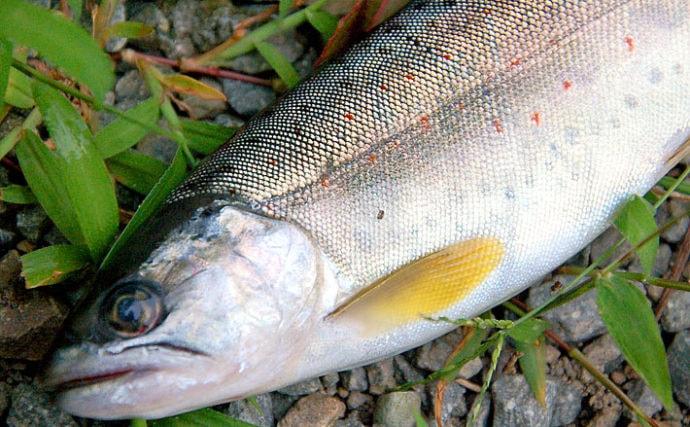 【2020初夏】良型アマゴ&ヤマメ狙い渓流釣り 流域別に攻略法を紹介