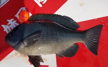 春磯フカセ釣りで大型バラすも33cmまでのグレがポツポツ【串本大島】