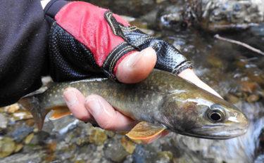 渓流釣りで23cm頭にイワナ&ヤマメ 点の釣りへが奏功【名栗川支流】