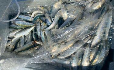 波止のサビキ釣りで良型マイワシ入れ食いで600匹【愛知・豊浜漁港】