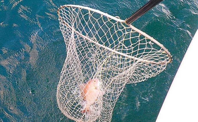 乗っ込みマダイ狙いコマセマダイ釣り良好 本命2.5kgに4kgカンパチも