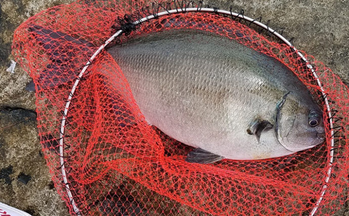 美味しくない魚代表『イズスミ』を実食 丁寧下処理で絶品すき焼きに